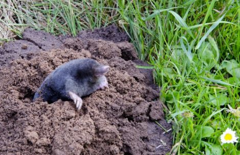 Getting Rid of Moles in Yard