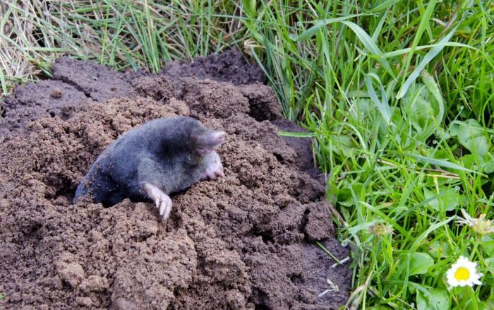 Getting Rid of Moles in Yard